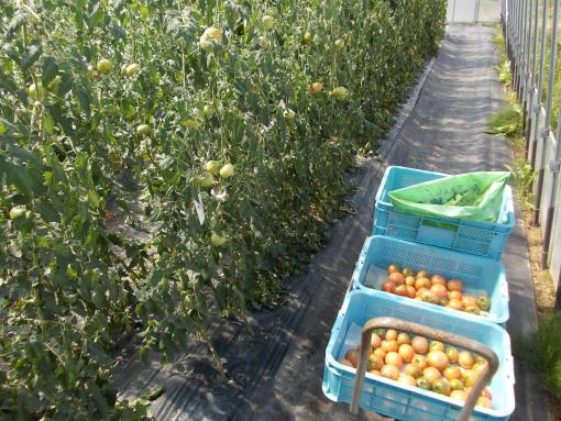 20140827_ギフト収穫中