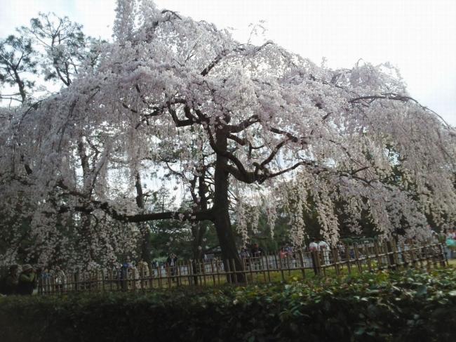 140329御所の糸桜
