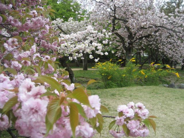 140419御所さんぽ⑬八重桜