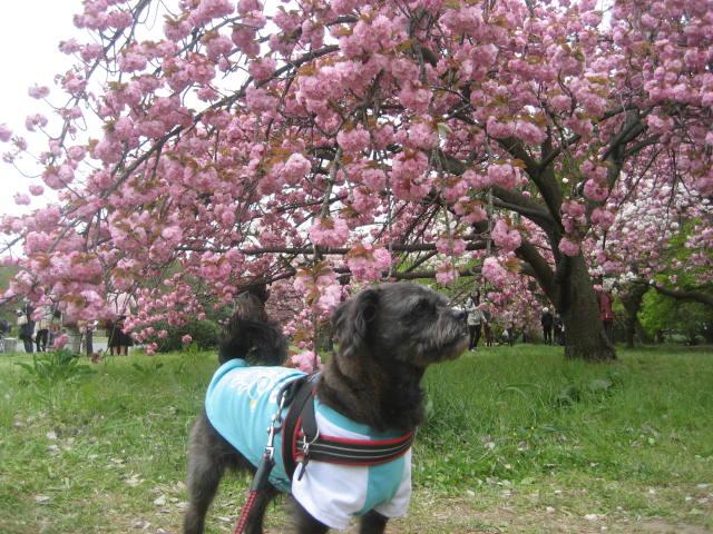 140419御所さんぽ⑭八重桜とふうた