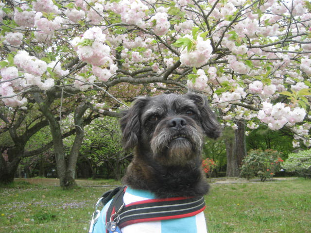 140419御所さんぽ⑤八重桜とふうた