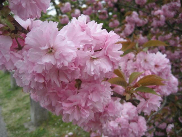 140419御所さんぽ⑪八重桜