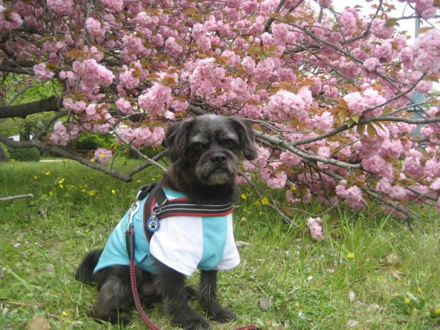 140419御所さんぽ⑧八重桜とふうた