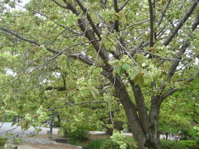 140419御所さんぽ④御衣黄の桜