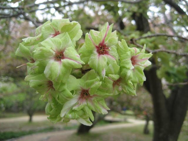 140419御所さんぽ③御衣黄の桜