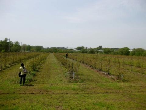 ブルーベリー畑0529