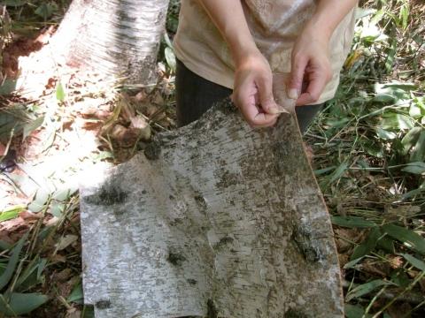 白樺樹皮06273