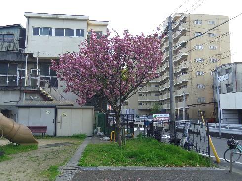 0408西郷桜