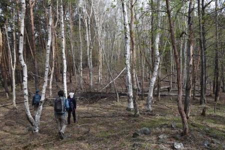 10白樺林