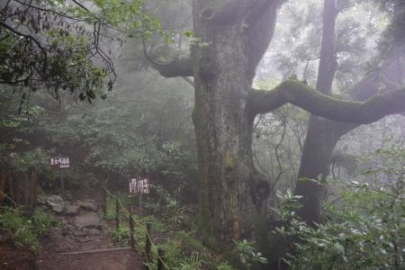 20紫峰杉