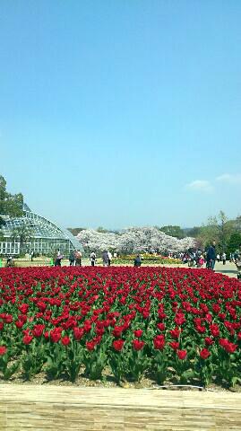 tulipa2.jpg