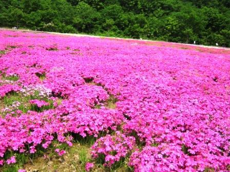 カブツーリング140525芝桜a
