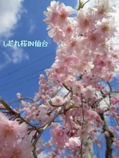 2014 4 19しだれ桜