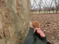 プラタナスの種ボール