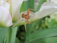 チューリップのクモ