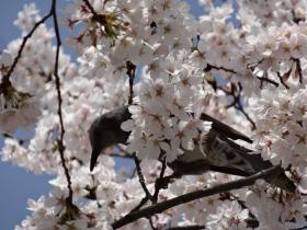 桜とヒヨちゃん