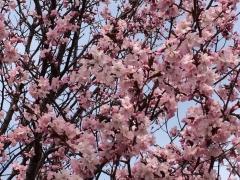 豊平警察の桜