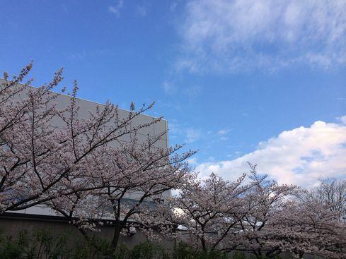 sakura in TP 20140402_02s