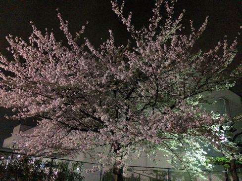 sakura in TP 20140403_02s
