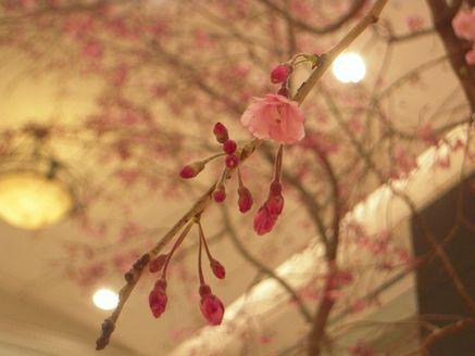 sakura in daimaru 20140405_03s