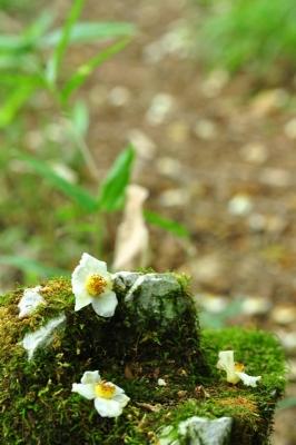 11ヒメシャラ花14.07.29