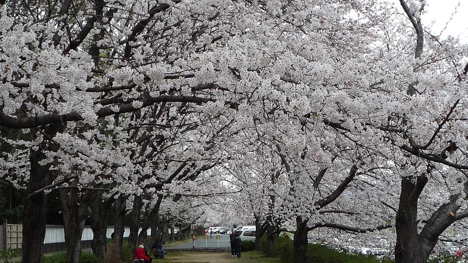 2014.03.31asahigawasakura 012