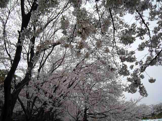 2014.03.31asahigawasakura 010