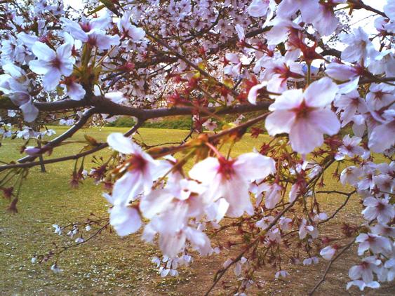 yurudeji_sakura_20140406193052e8c.jpg