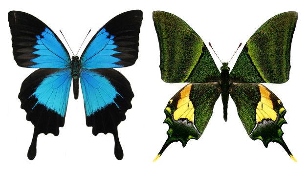 オオルリアゲハ♂、 オオゴンテングアゲハ♂
