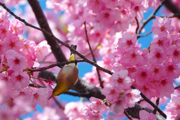 bird-on-a-cherry-tree_l.jpg
