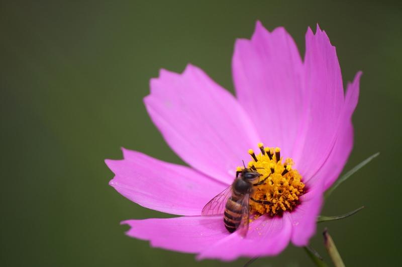 corepsis-and-bee.jpg
