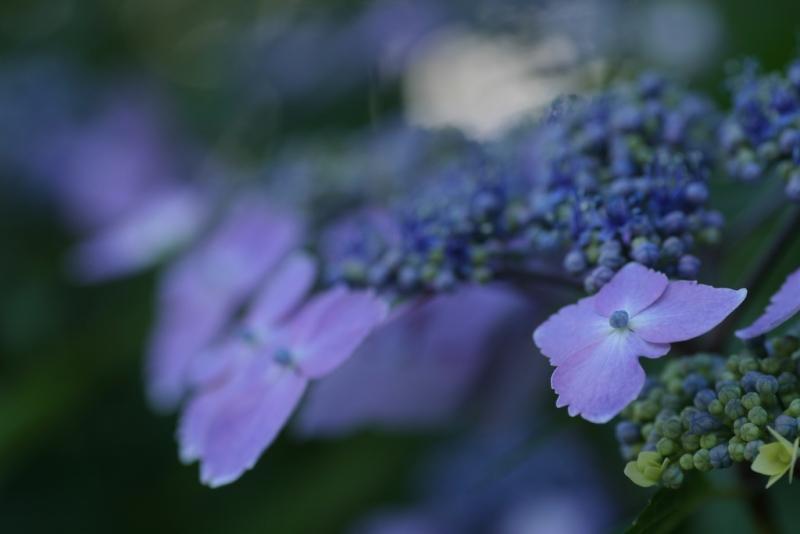 hydrangea-macrophylla.jpg