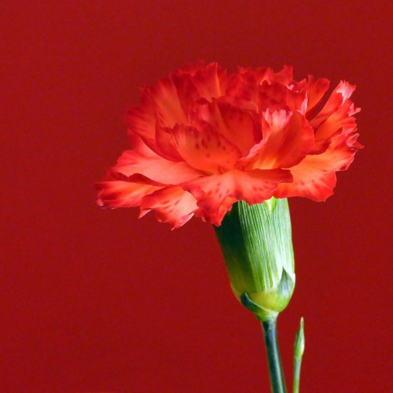red-carnation-1.jpg