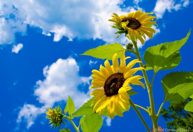 stretching-sunflowers.jpg