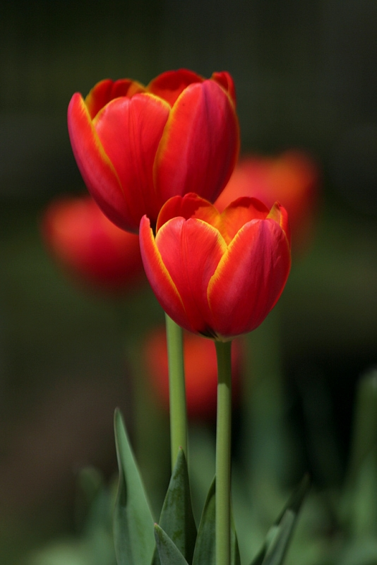 tulips-12.jpg