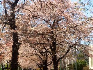 散りゆく東京の桜1 by占いとか魔術とか所蔵画像