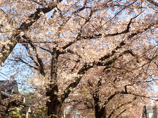 散りゆく東京の桜2 by占いとか魔術とか所蔵画像