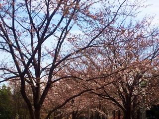 東京の桜 by占いとか魔術とか所蔵画像