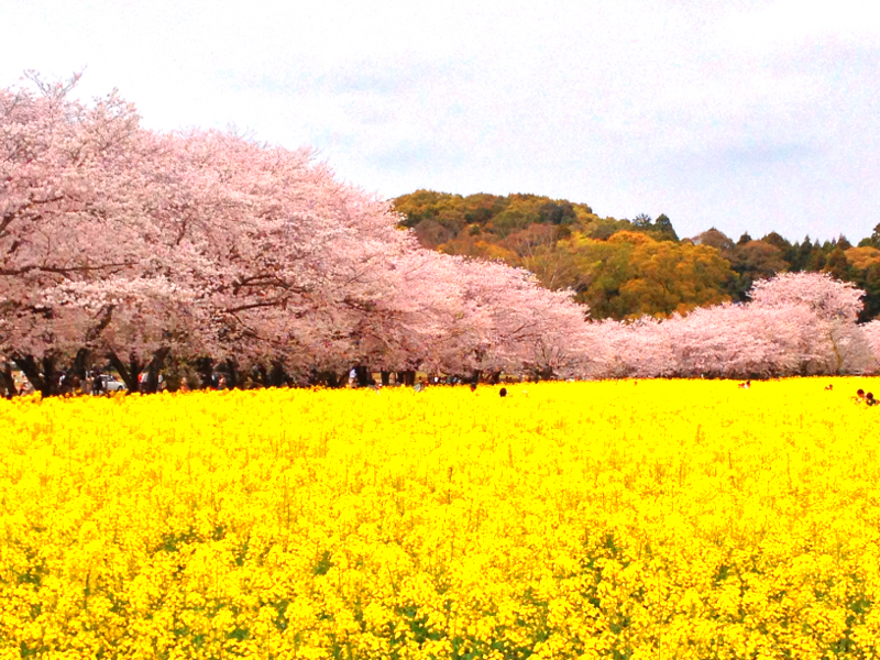 konohana_sakura.jpg