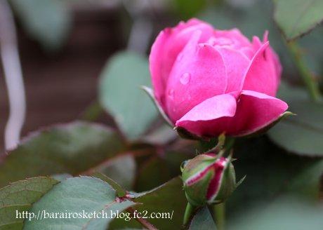 ミサト2番花の蕾2