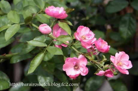 アンジェラ2番花