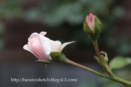 ニュードーン2番花