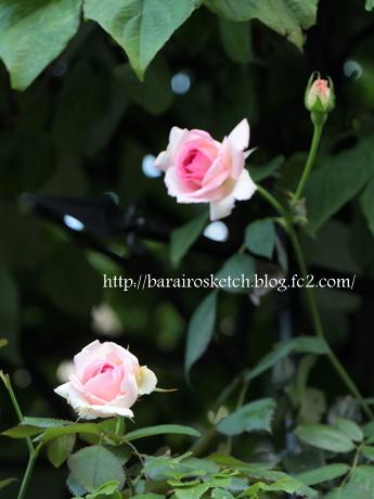 ピエール2番花