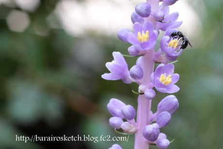 ヤブランと小さなミツバチ