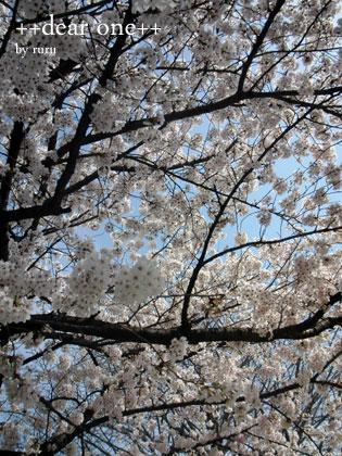 桜140409_1