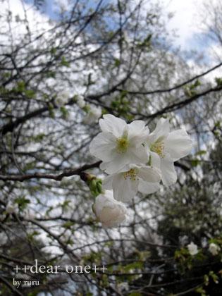桜140409_3