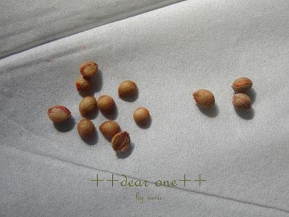 シルクジャスミンの種140716_5