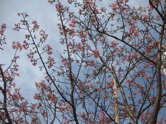 1河津桜3 0220