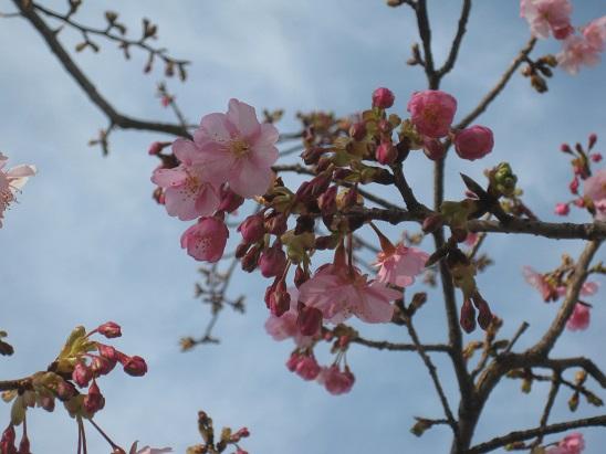 2河津桜5 0220