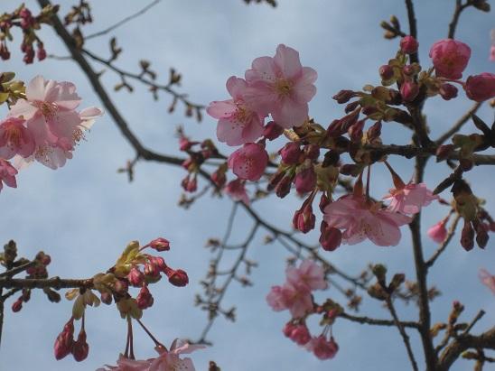 1河津桜 0220